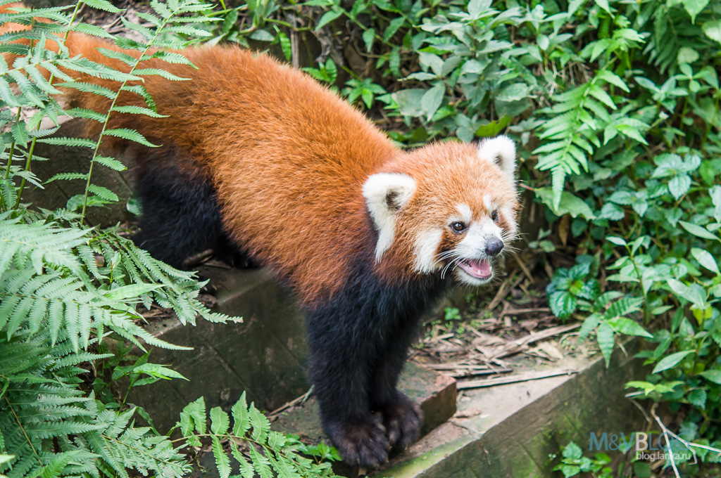 red panda essay Red pandas have always lived in the shadow of the other, more famous panda but now it's time to give the little guy its due 1 they have two extinct relatives currently, red pandas live in the eastern himalayas but the first red panda fossil was found a little bit further afield than that—in.